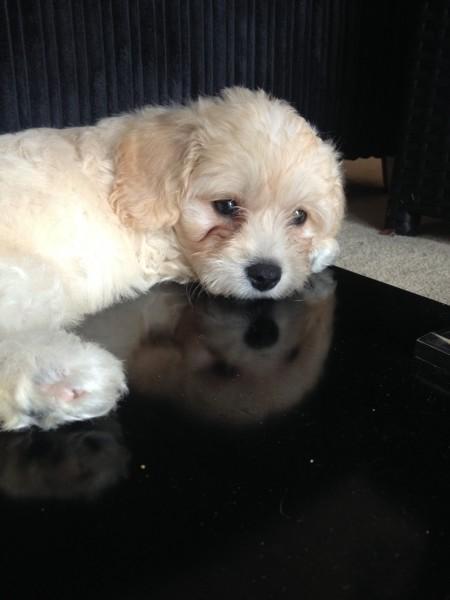 Barney as a puppy