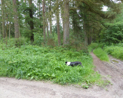 A170 Accessible forest dog walk, North Yorkshire - Driving with Dogs