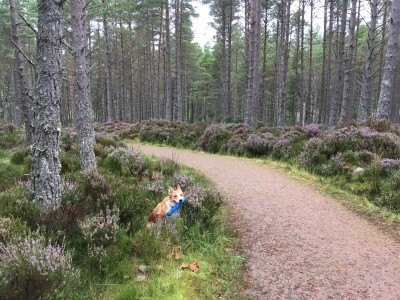 A short dog walk just off the A9 between Dornoch and Golspie, Scotland - Driving with Dogs
