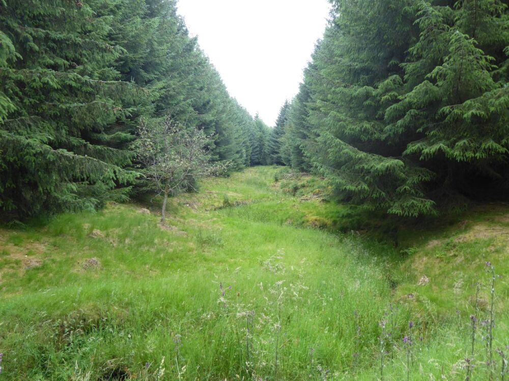 Forest dog walk near Bowes, County Durham - Forest dog walk in County Durham