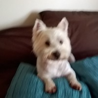 whitewestie11 - Driving with Dogs