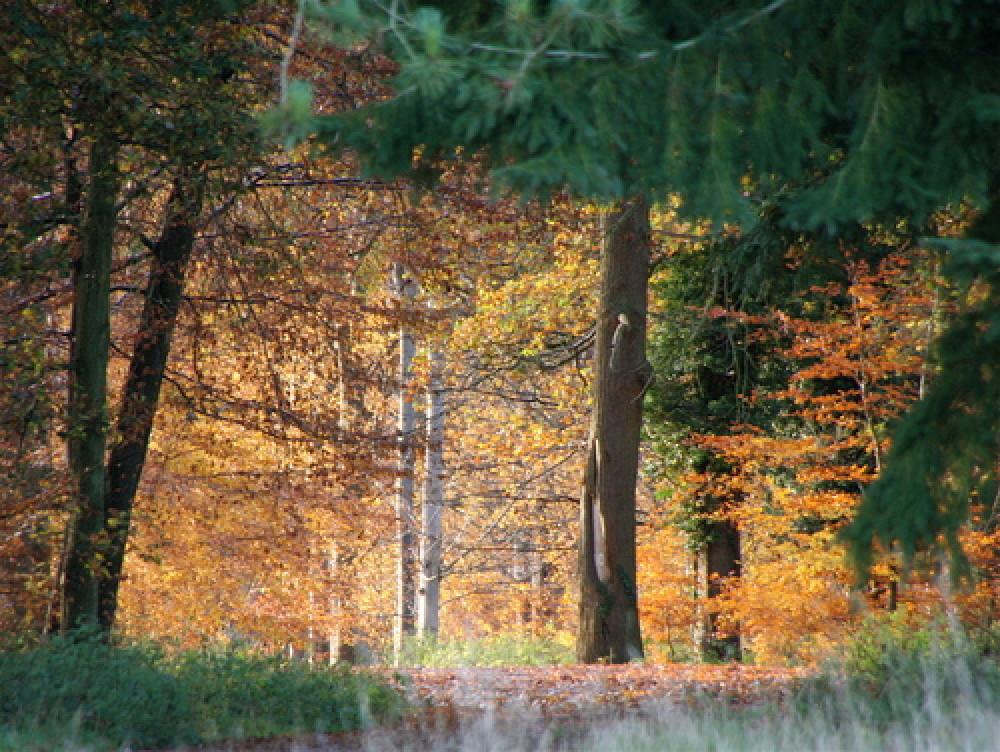 Kings Forest dog walks near Bury, Suffolk - Dog walks in Suffolk
