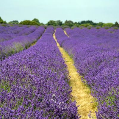 Doggie day out in lavender fields near London, Surrey - Driving with Dogs