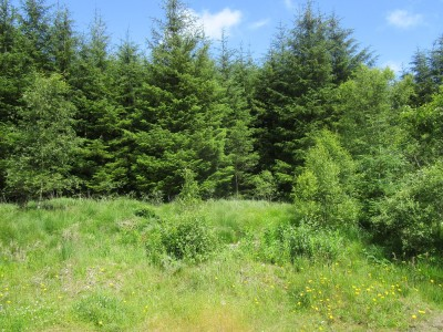 Forest dog walk and no sheep, Cambrian Mountains, Wales - Driving with Dogs