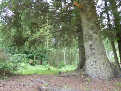 Forest Walk for dogs near Burniston, Yorkshire - Driving with Dogs