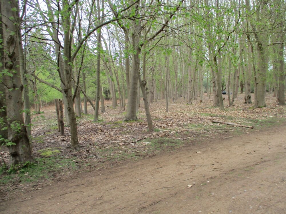 A12 dog walk in the Forest, Suffolk - Suffolk forest walks with the dog