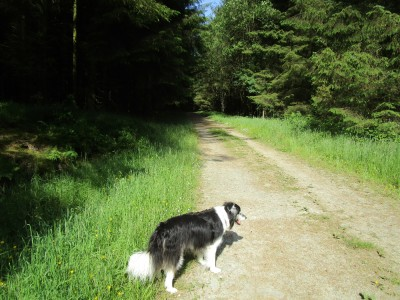 A488 Radnor Forest dog walk near Bleddfa, Wales - Driving with Dogs