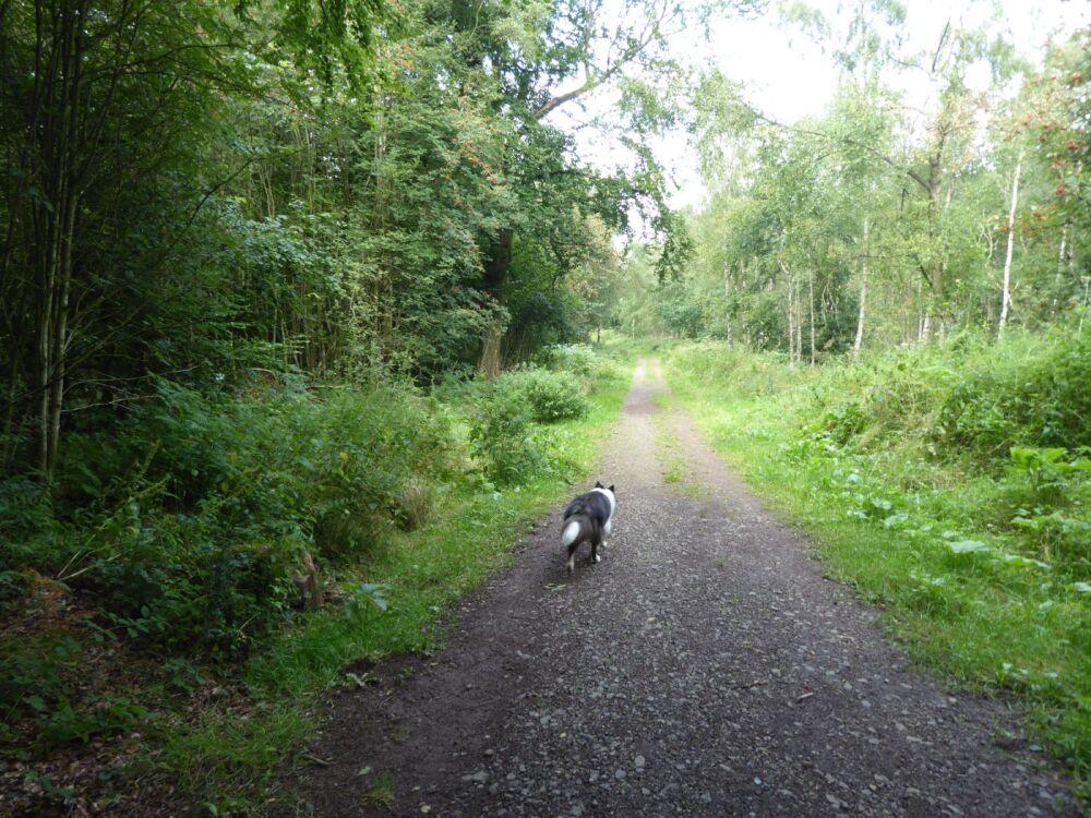 Woodland dog walk near Carlisle, Cumbria - Woodland dog walk near Penrith